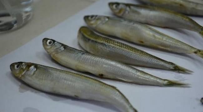 PARAZİT bulundu, bu balıkları YEMEYİN