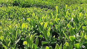 Çay, Bakliyat, Buğday Alım Fiyatları Açıklandı - AYRINTILAR!